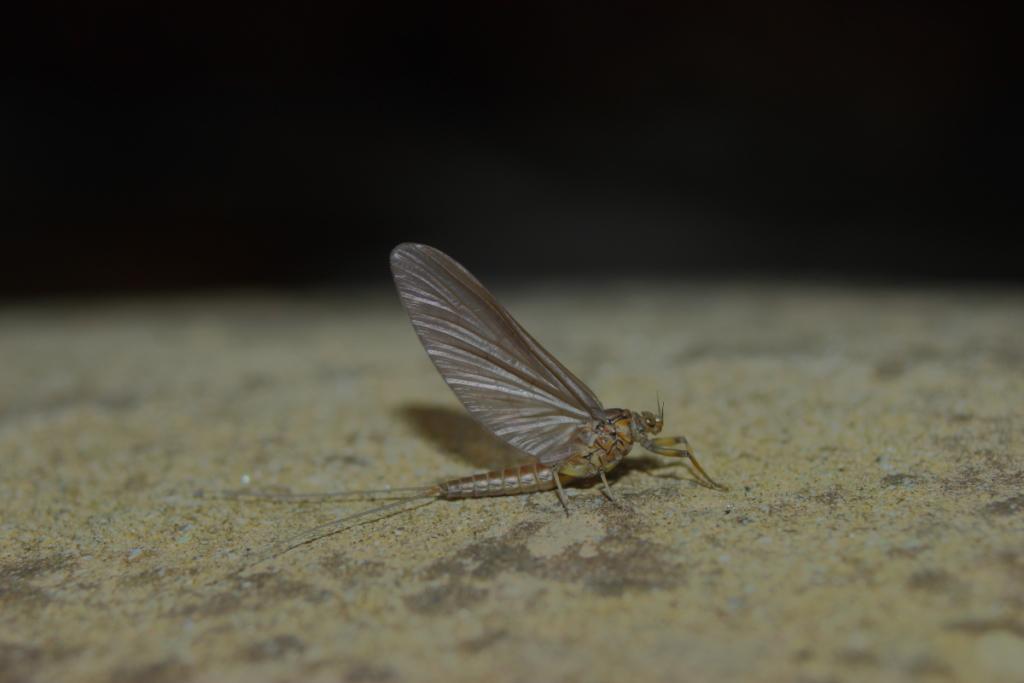 Baetis rhodani subimago (fam. Baetidae).