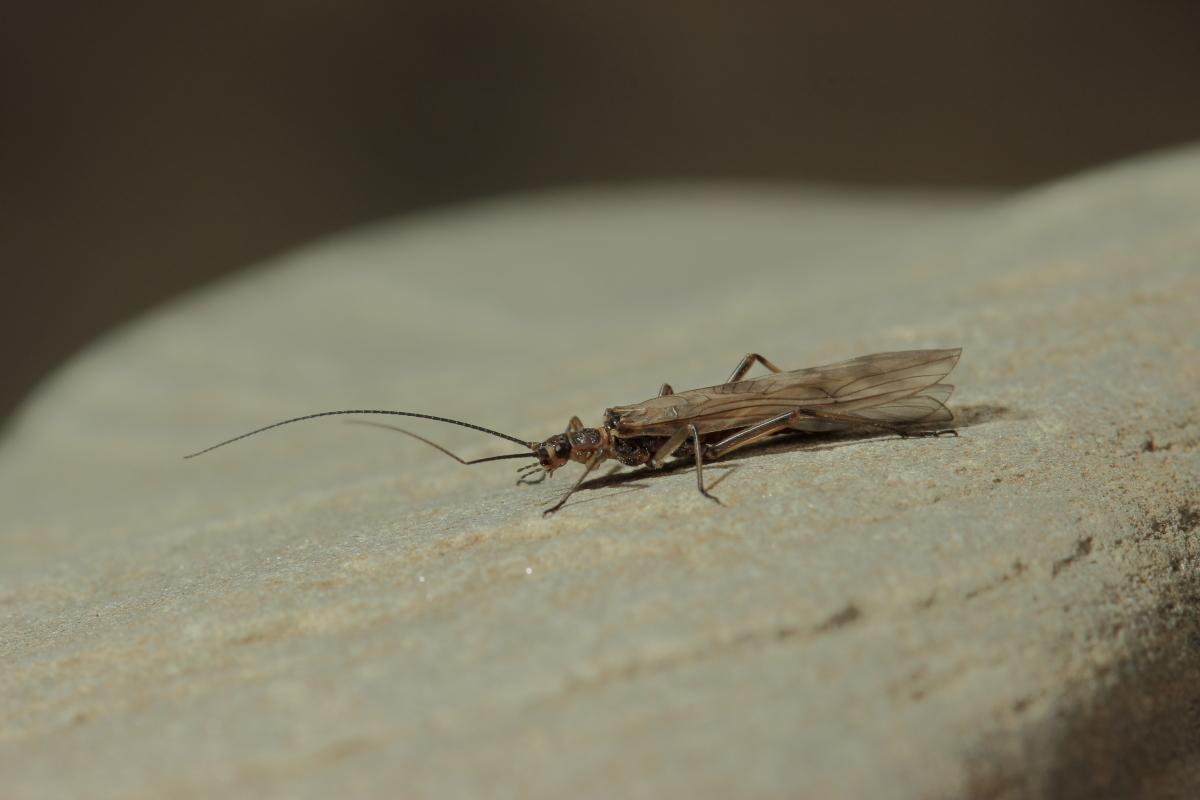Brachyptera risi (plecottero)