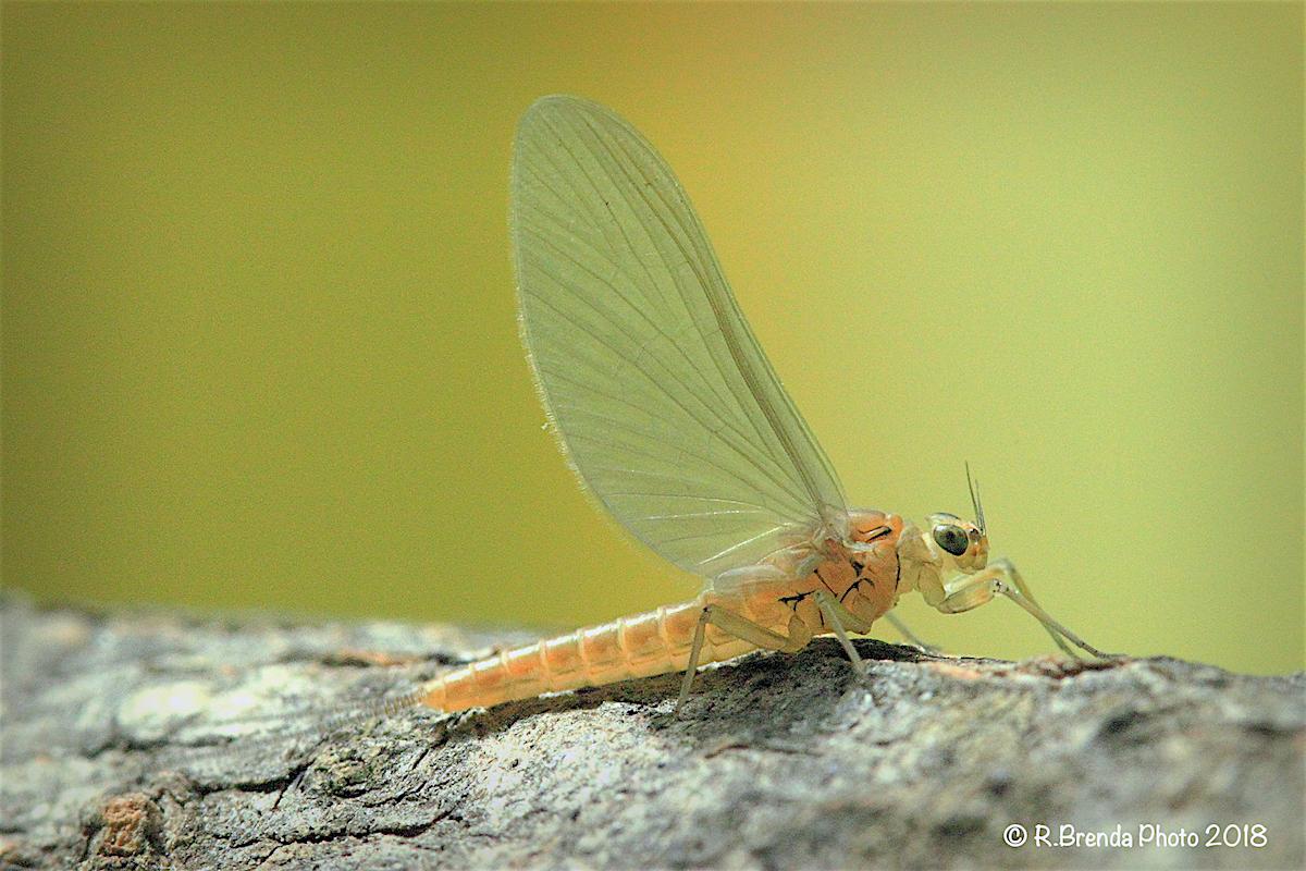 Baetis bioculatus subimago female